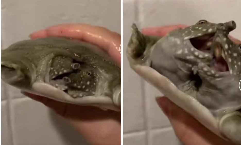tortuga de dos cabezas TikTok